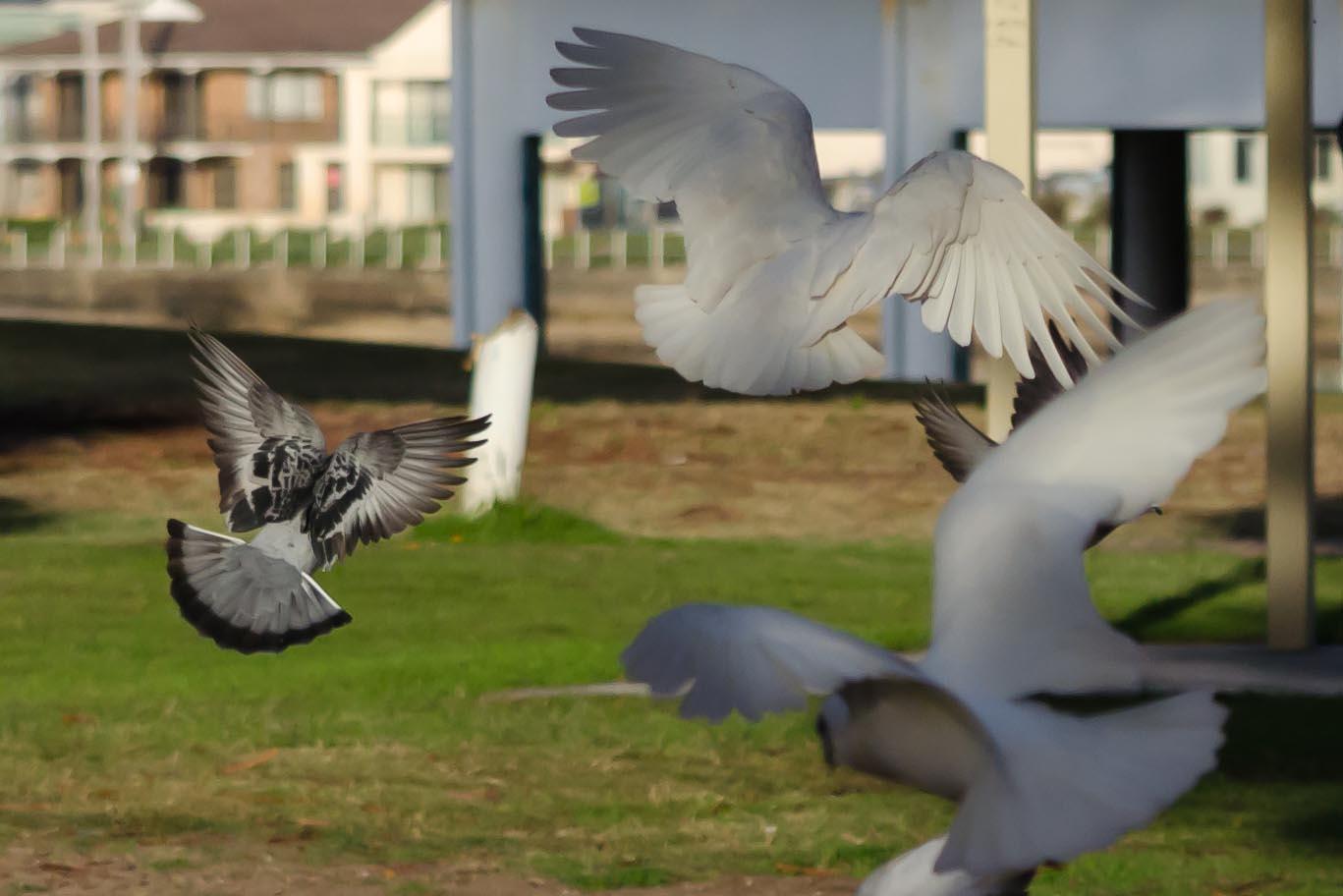 Corella, corellas, birds, bird, feed, eating, fly, wings, pigeon