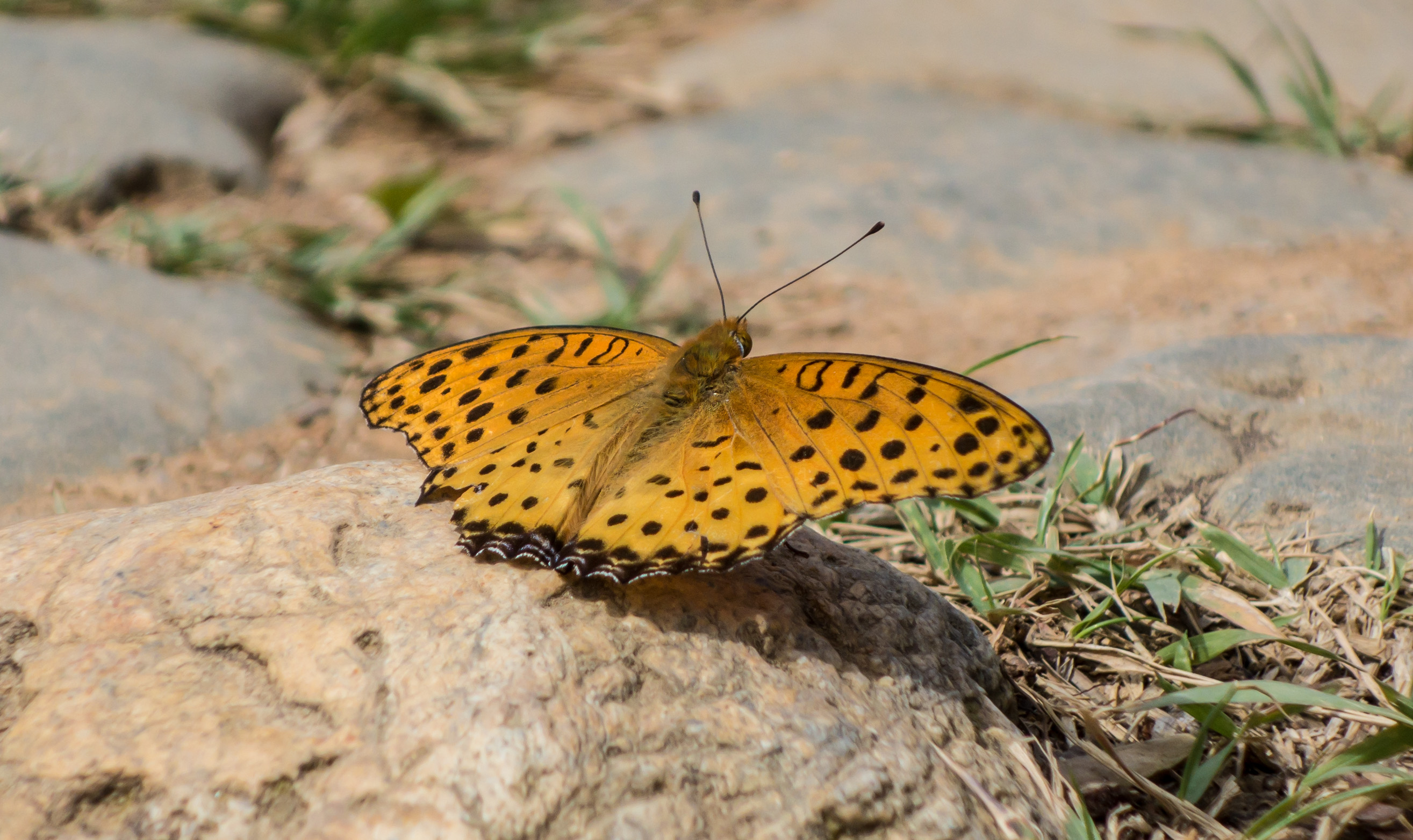 butterfly insects